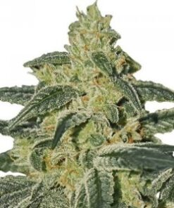 Afgan Hash Plant Feminized Cannabis Seeds