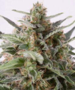 Buy AK x Critical Mass Auto-Flowering Feminized Cannabis Seeds