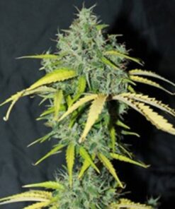 Buy Amnesia Auto-Flowering Feminized Seeds