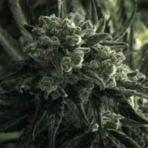 critical mass auto-flowering feminized cannabis seeds