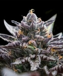 Double Chocolate Feminized Cannabis Seeds