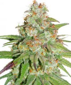 Buy Glueberry OG Feminized Seeds