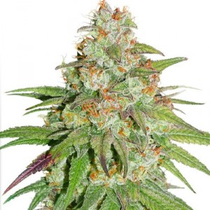 Buy Glueberry OG Feminized Seeds