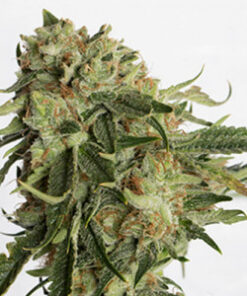 Gold Rush Feminized Cannabis Seeds