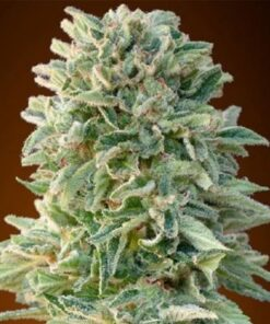 Buy Jack Herer Auto-Flowering Feminised Seeds