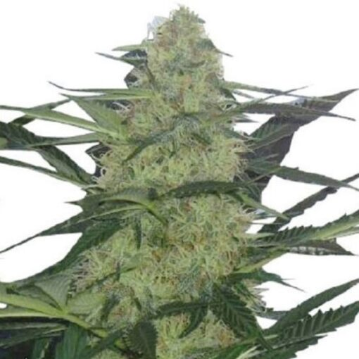 Buy Magnum Auto-Flowering Feminized Seeds