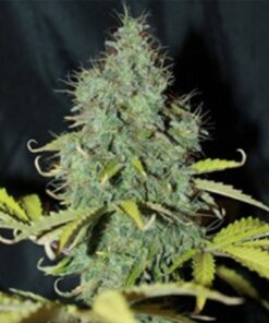 Sweet Tooth Auto-Flowering Feminized Cannabis Seeds