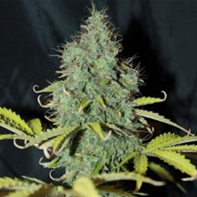 Sweet Tooth Auto-Flowering Feminized Cannabis Seeds