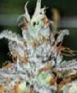 Train Wreck Feminized Cannabis Seeds