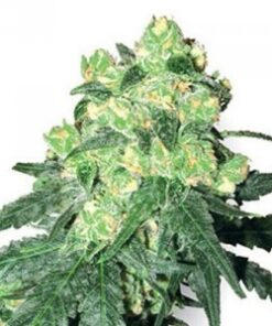 Buy White Rhino Feminized Seeds