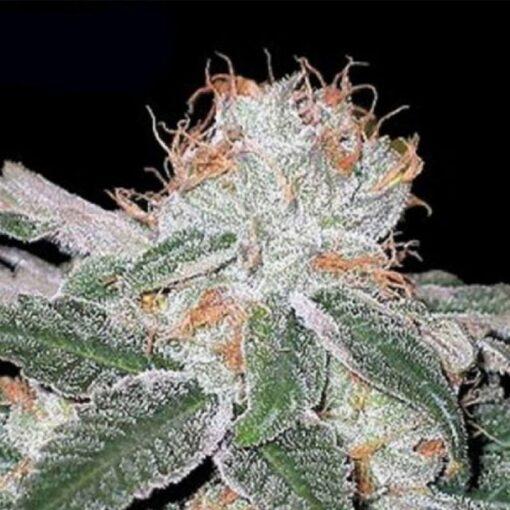 White Widow AutoFlowering Feminized Cannabis Seeds