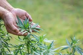 Grow Cannabis, Feminized Seeds