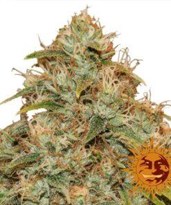Buy CBD Lemon Potion Auto-Flowering Feminized Cannabis Seeds