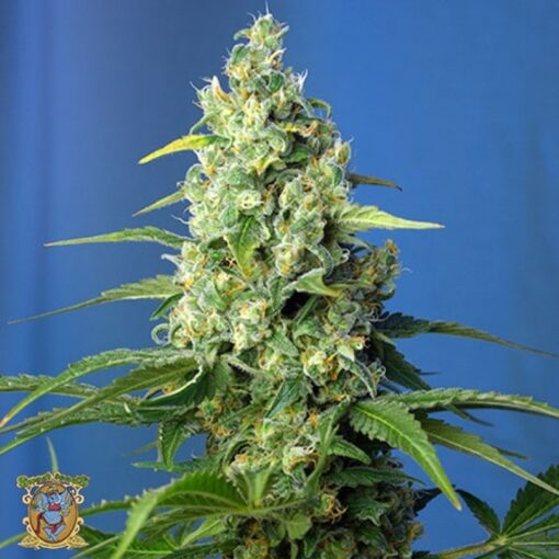 Buy Honey Peach CBD Auto-Flowering Feminized Seeds