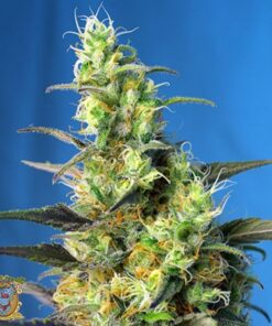 Buy Ice Cool CBD Feminized Seeds