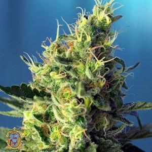Buy Sweet Pure CBD Feminized Seeds
