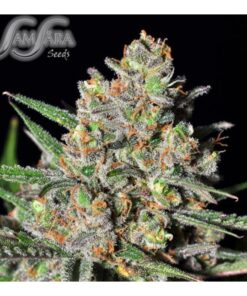 Green Love Potion Feminized Seeds