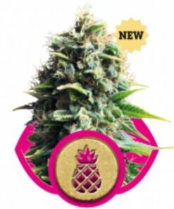 Pineapple Kush Feminized Seeds (Royal Queen Seeds)