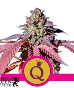 Purple Queen Feminized Seeds (Royal Queen Seeds)